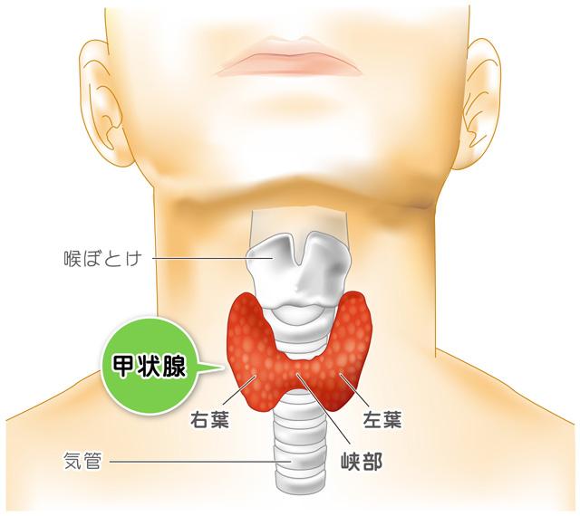 甲状腺の説明